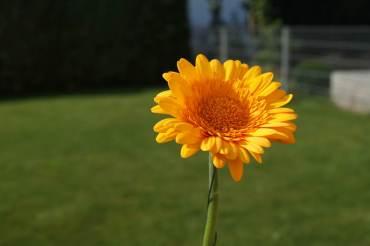 Mamawelt Gerbera gelb