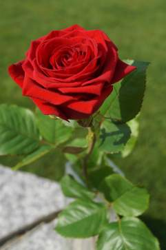 Mamawelt Red Rose