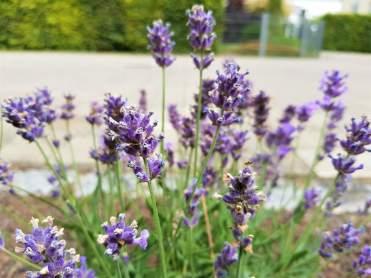 Mamawelt Lavendel630