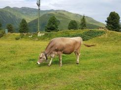 Zillertal Kuh