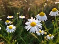 Mamawelt Daisy733