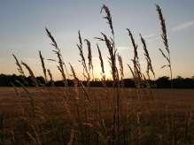 Der Weizen im Licht